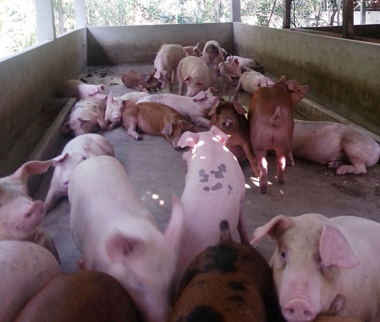 """Nguy cơ chất cấm """"giết"""" ngành chăn nuôi"""
