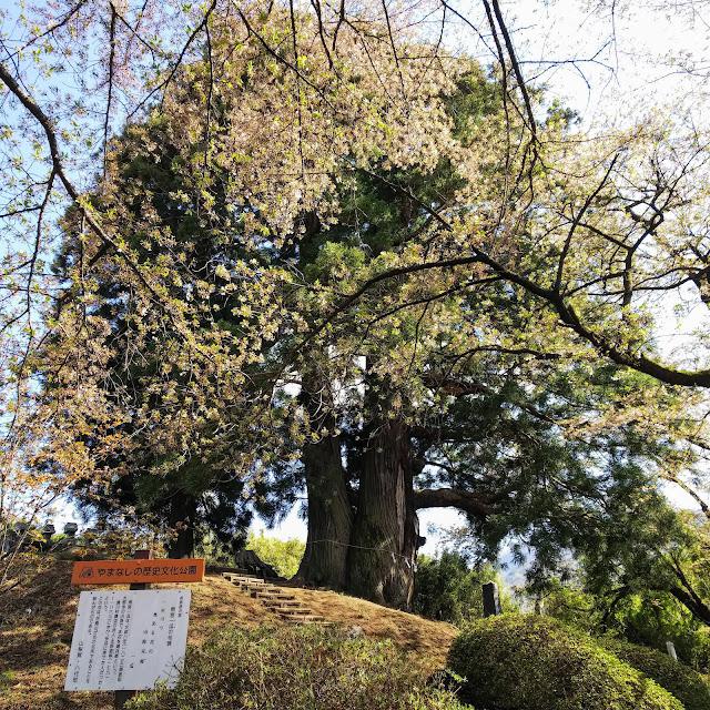 花鳥山一本杉