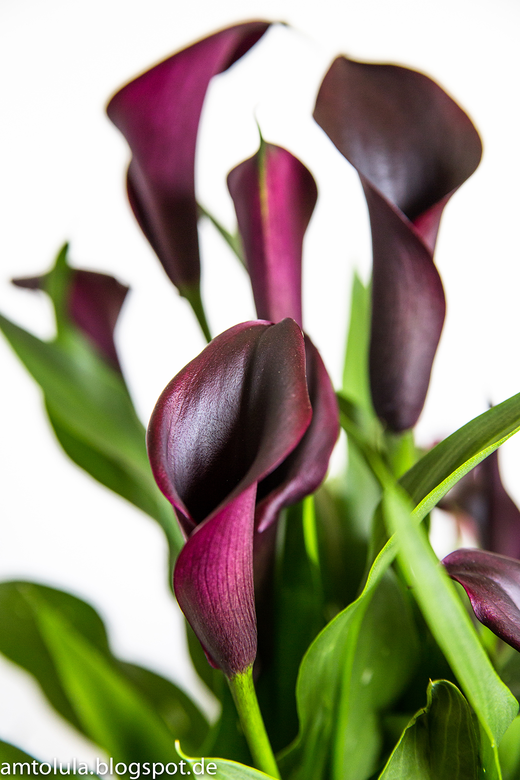 "Callas Blume Pflege Amtolula: In Love With ""calla"""