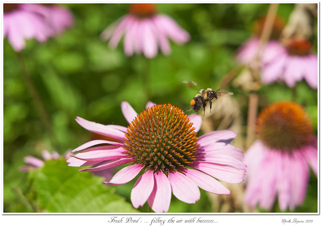 Fresh Pond: ... filling the air with buzzzzzz...
