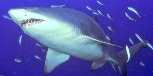 Tiger Shark, ikan paus terbesar