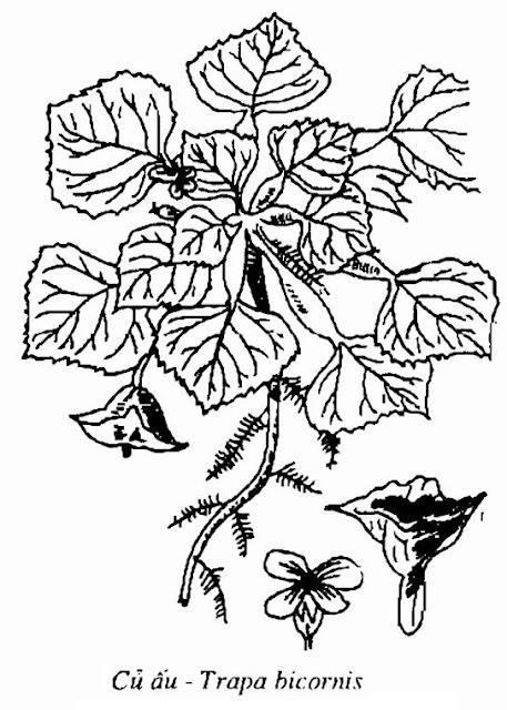 Hình vẽ Củ Ấu - Trapa bicornis - Nguyên liệu làm thuốc Chữa Cảm Sốt