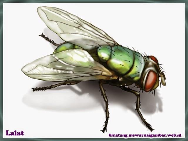 gambar lalat