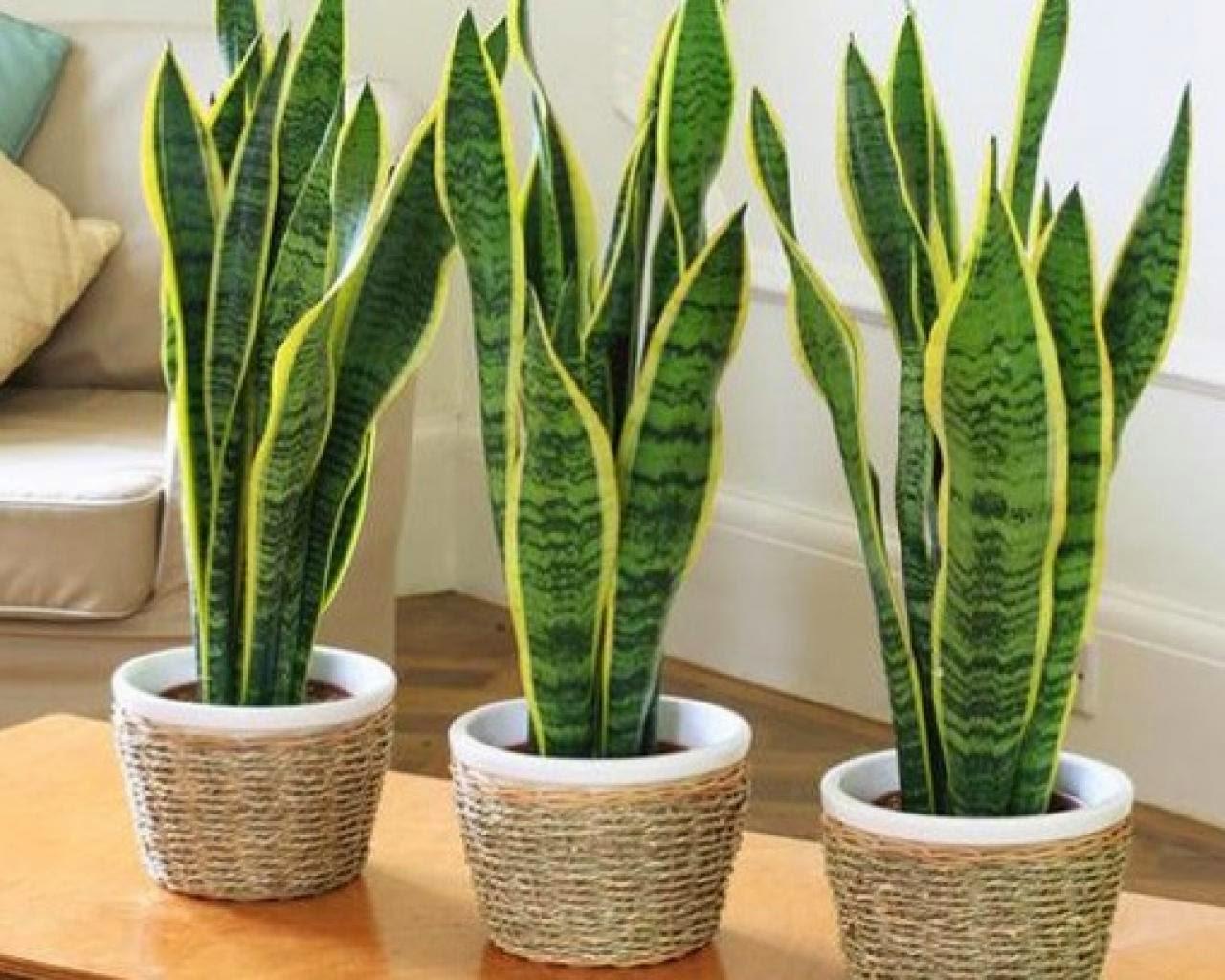 planta sanseviera