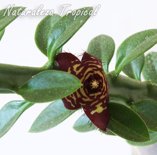 Tallos, hojas y flor de la planta suculenta Frerea indica x Caralluma europaea