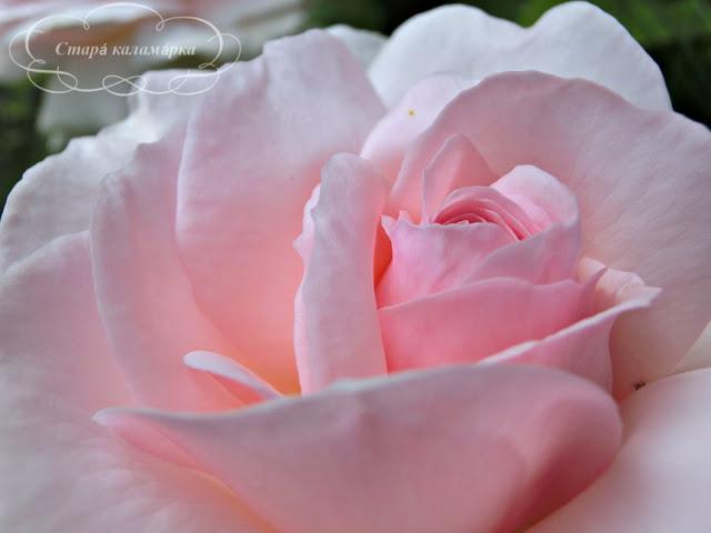 роза A Whiter Shade Of Pale, розарий, сочетания роз, розы фото, розы в саду, цветники с розами