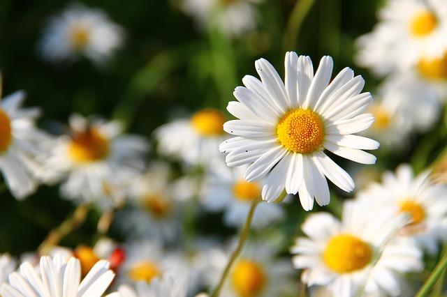 hình ảnh hoa cúc trắng 2
