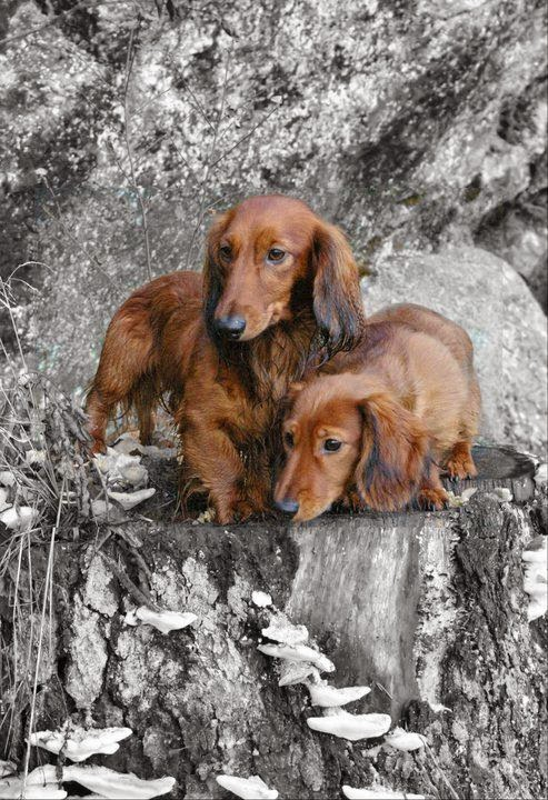 Two Red long hair Cute Dachshunds Puppies