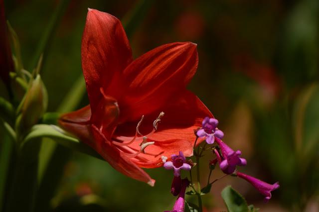 hippeastrum, naranja, amaryllis, summer, desert garden, small sunny garden, amy myers, photography