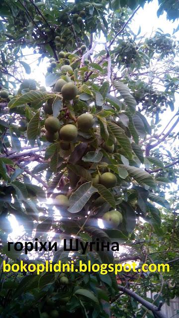 орехи скороплодные низкорослые