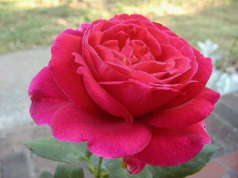 pink rose beautiful flower