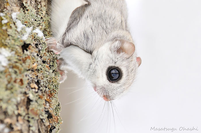omorfos-kosmos.gr - omorfos-kosmos.gr - Οι ιπτάμενοι σκίουροι της Ιαπωνίας και της Σιβηρίας είναι ίσως τα πιο χαριτωμένα ζώα της γης (Εικόνες)