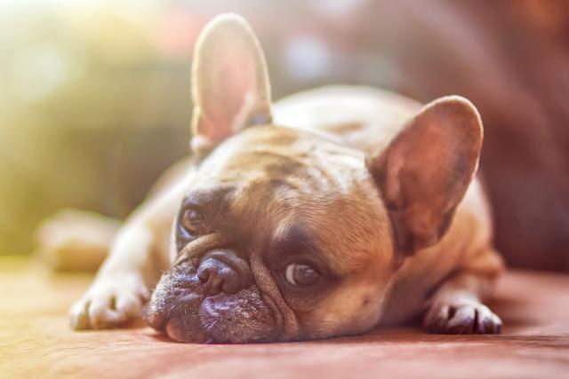 Bild, Hund, Süß, Bulldogs Day