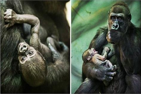 Εικόνες που θα σου λιώσουν την καρδιά: Το μκρό γοριλάκι δεν μπορεί να αποφασίσει αν πεινάει ή αν νυστάζει! (PHOTOS)