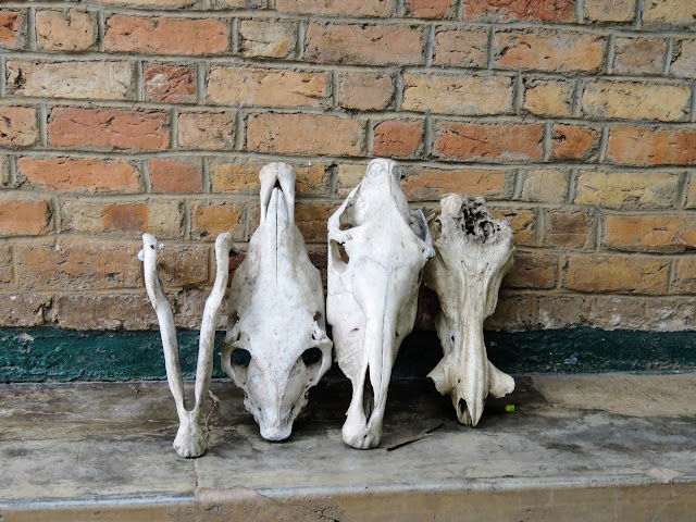 Animal skulls at Lake Mburo National Park in Uganda
