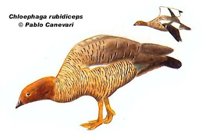 Cauquén colorado Chloephaga rubidiceps