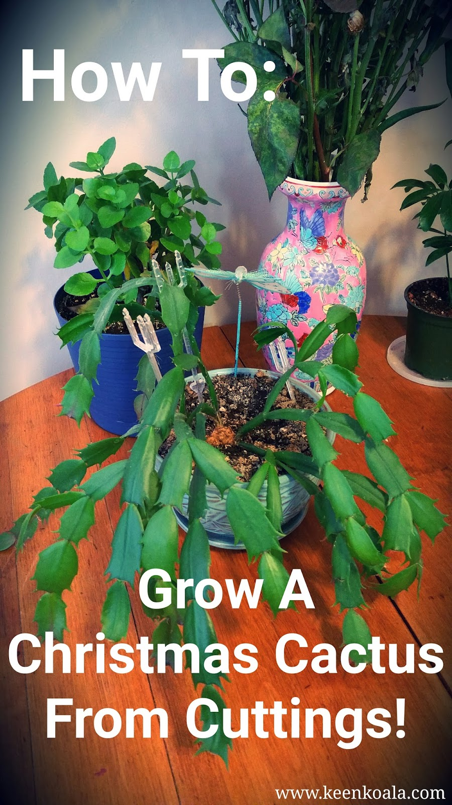 keen koala how to grow a christmas cactus from cuttings. Black Bedroom Furniture Sets. Home Design Ideas