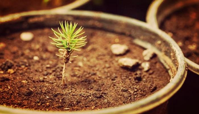 Cultivar pino