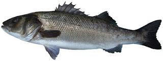 طريقة صيد سمك القاروص