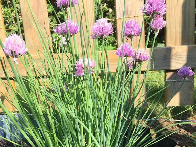 blühender Schnittlauch in lila