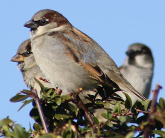 Photograph of house sparrows.