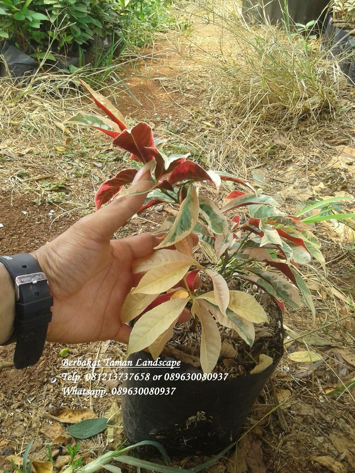 Jual Tanaman Sabang Dara | Sambang Dara | Sambang Darah ...