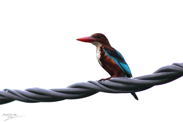 Kingfisher on electric wire -Birding during Eid-Adha Holiday