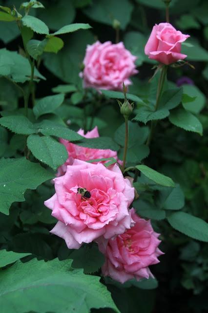 roses, garden, flowers, Aunt Honey Rose, Anne Butera, My Giant Strawberry