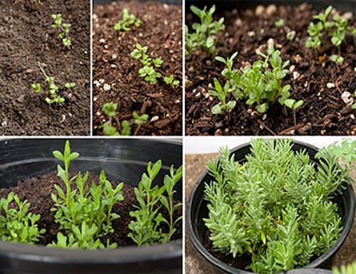 Bước 4 Cách trồng cây oải hương
