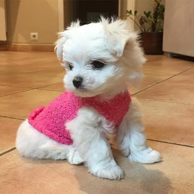 perro maltes