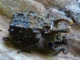 Ténébrion cornu - Bolitotherus cornutus