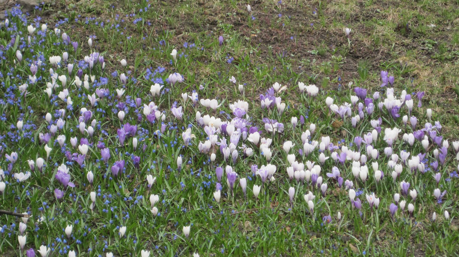 ed89915aa8ee It s like the ground can t quite let go of winter yet. But the carnival of  color that the crocuses and wild blue flowers (wish I knew what these were  ...