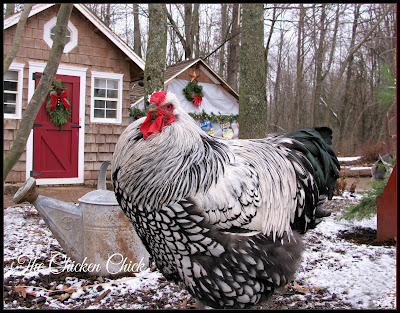 Silver Laced Wyandotte, a cold hardy breed.