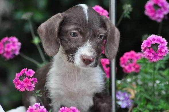 cachorro perro de aguas