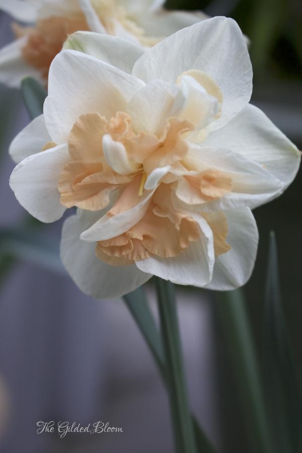 Deinashaugh Daffodil- www.gildedbloom.com