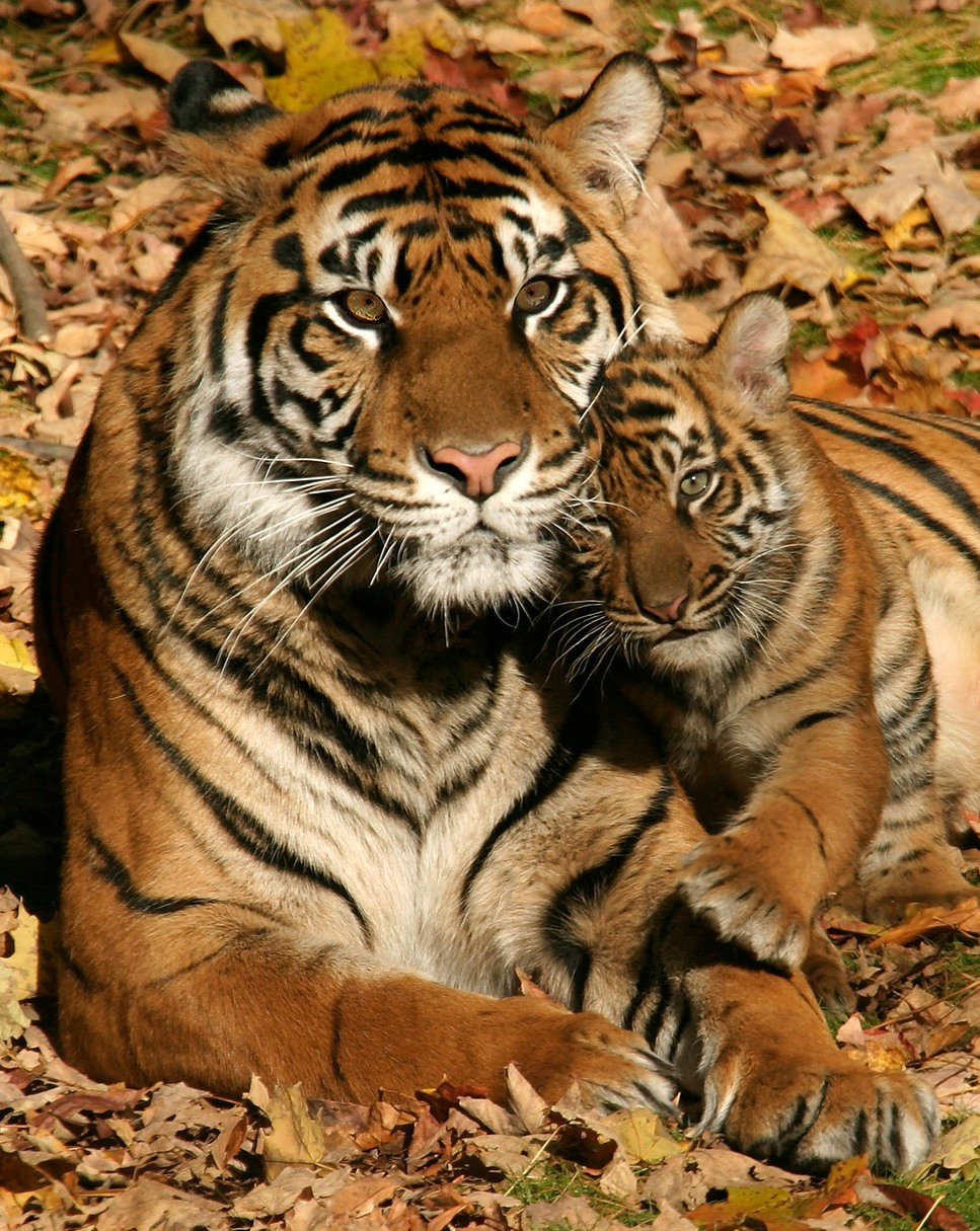One Pic: Baby Tiger with Mom