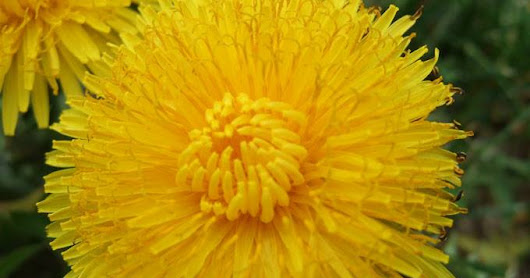 HUMBLE LITTLE DANDELION