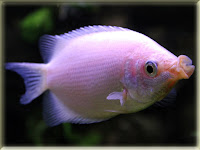 Kissing Gourami Fish Pictures