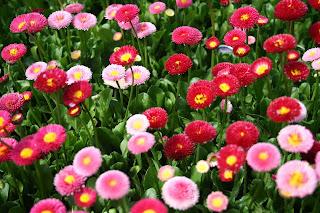 Цветок имени Маргарита - маргаритка