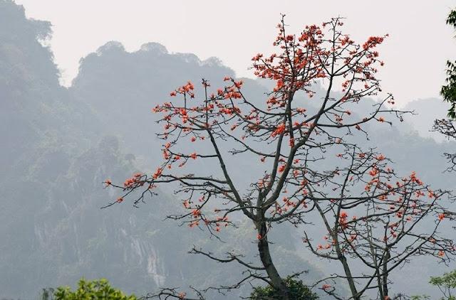 Red silk cotton trees in full bloom in Northwest Vietnam 5
