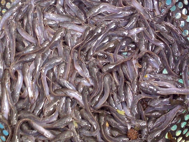 pemijahan ikan lele secara buatan