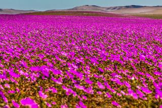 Desierto de Atacama. Desierto Florido 2017. Pata de Guanaco. Campos de Flores infinitas. Copiapó, Chile.