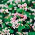 Lên Hà Giang ngắm hoa Tam giác mạch