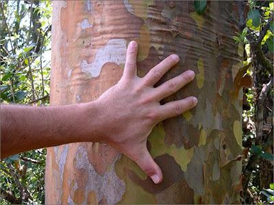 Myrcianthes cisplatensis tronco