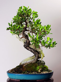buttonwood bonsai for sale, silver buttonwood bonsai, preserved bonsai, buttonwood tree, tanuki bonsai technique, tanuki bonsai for sale