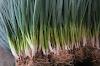 Bawang Seledri