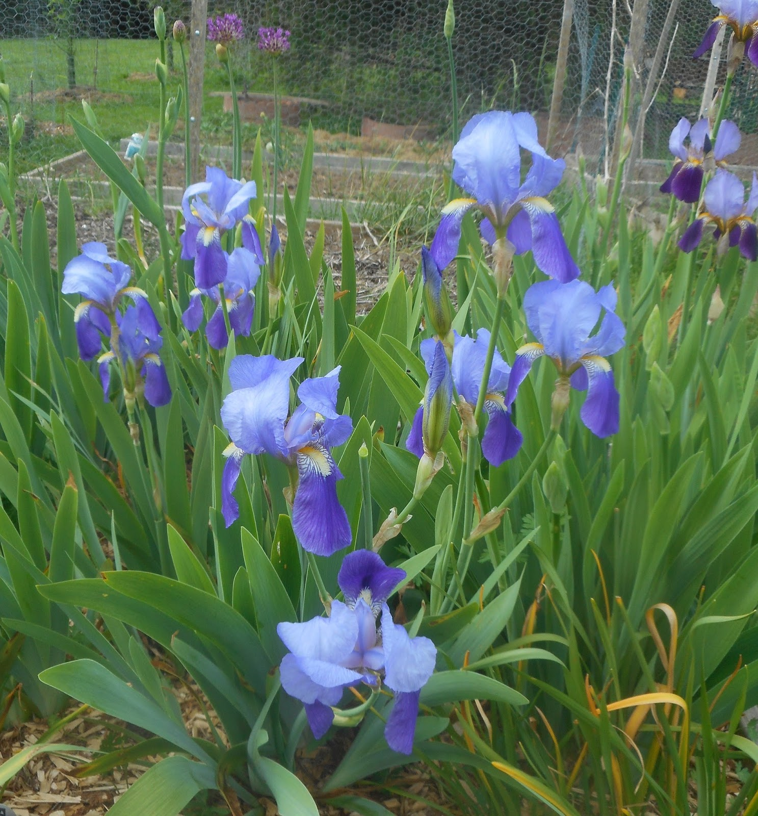 Growing Greener In The Pacific Northwest Bearded Irises Second