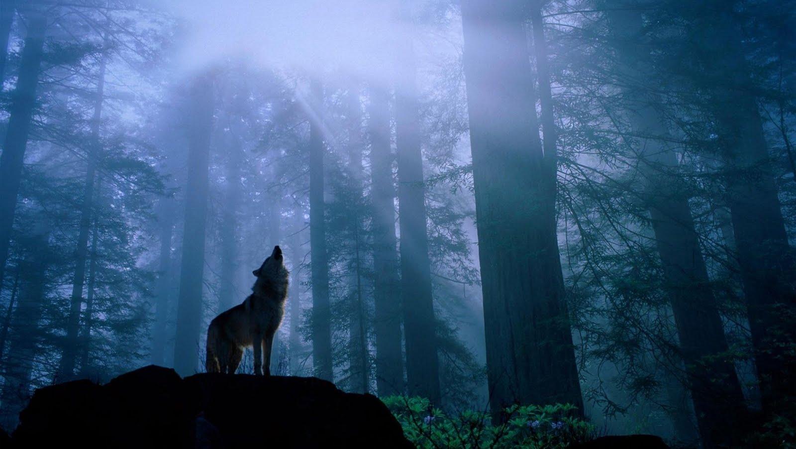 Wolf - Lobo aullido en el bosque - Wallpapers HD ...