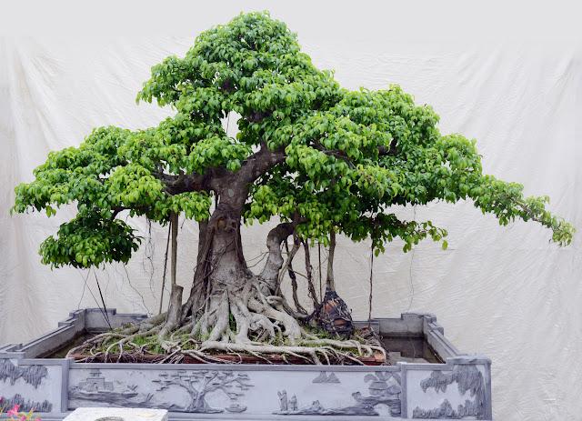 bonsai cây cảnh