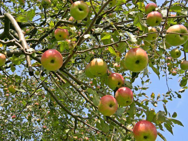 drzewo, niebo, owoce, gałęzie